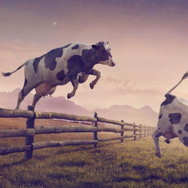 Jumping Cows